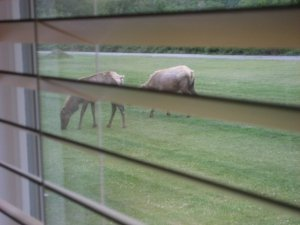 Elk right outside the window