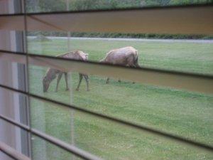 Elk right outside the window